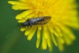 Insekt auf Butterblume
