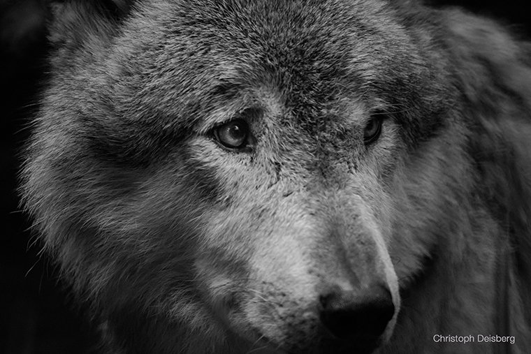 Wolf_3_klein